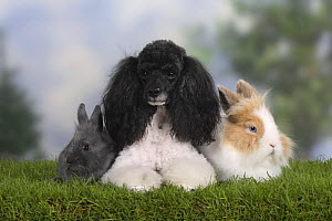 Harlequin Miniature Poodle lying between a dwarf rabbit and a lion-maned dwarf rabbit. - Petra Wegner