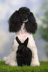 Harlequin Miniature Poodle sitting with a black Dwarf Rabbit - Petra Wegner