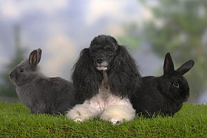 Harlequin Miniature Poodle lying down between two Dwarf Rabbits - Petra Wegner