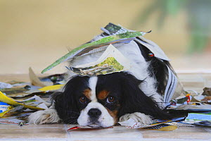 Tricolor Cavalier King Charles Spaniel playing in torn up paper  -  Petra Wegner