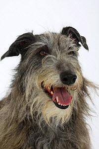Scottish Deerhound face portrait - Petra Wegner
