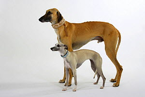 Fawn Sloughi and light sand Whippet standing together - Petra Wegner