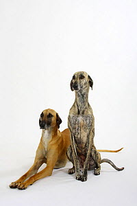 Two Sloughi, fawn sitting and brindled standing - Petra Wegner
