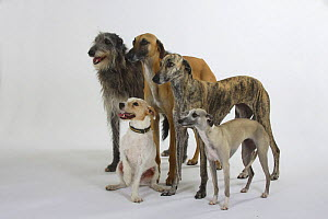 Two Sloughi (brindled and fawn), a Scottish Deerhound, a light sand Whippet and a Parson Russell Terrier  -  Petra Wegner