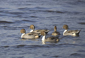 Pintail ducks (Anas acuta), Four males courting one female, Martin Mere, Lancashire, UK February - Mike Potts