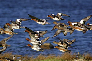 Eurasian Widgeon (Anas penelope) flock take flight from grazing area, Llanfairfechan, Gwynedd, North Wales, UK February - Mike Potts
