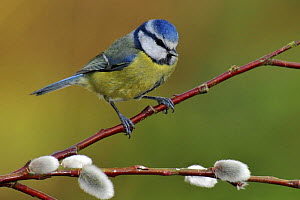 Blue tit (Parus caeruleus) perched among Pussy willow, West Sussex, England, UK  -  Andy Sands