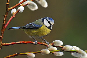Blue tit (Parus caeruleus) perched among Pussy willows, West Sussex, England, UK  -  Andy Sands