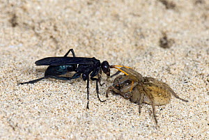 Spider hunting wasp (Entypus fulvicornis) hauling a paralised spider back to its burrow, Island of Sal, Cape Verde Islands  -  Andy Sands