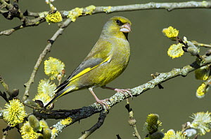 Male Greenfinch (Carduelis chloris) amongst Pussy willow catkins, Hertfordshire, England, UK  -  Andy Sands