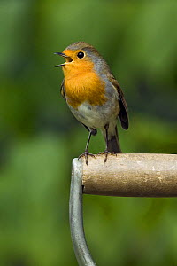 Robin (Erithacus rubecula) sitting on a garden fork handle singing, Hertfordshire, England, UK  -  Andy Sands