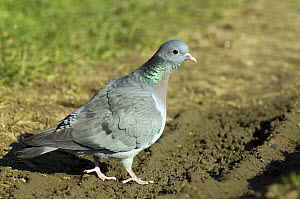 Stock dove (Columba oenas) at the edge of a recently ploughed field, Lincolshire, England, UK  -  Andy Sands