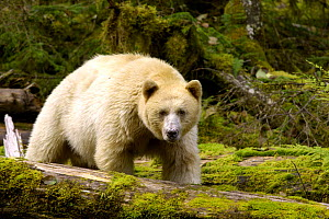 Spirit / Kermode bear (Ursus americanus kermodei), white phase of American black bear, Princess Royal Island, The Great Bear Rainforest, British Columbia, western Canada - Mark Carwardine