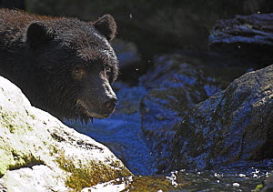 Black bear (Ursus americanus) fishing for salmon, Princess Royal Island, Great Bear Rainforest, British Columbia, western Canada - Mark Carwardine