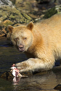 Spirit / Kermode bear (Ursus americanus kermodei) white phase of American black bear, eating salmon, Princess Royal Island, the Great Bear Rainforest, British Columbia, western Canada - Mark Carwardine