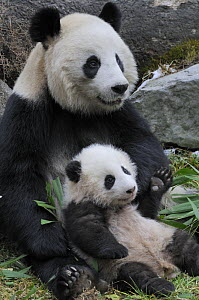 Giant panda (Ailuropoda melanoleuca) mother and baby, Wolong Nature Reserve, China, Captive  -  Eric Baccega