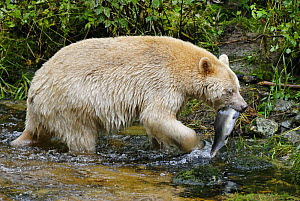 Kermode / Spirit bear (Ursus americanus Kermodei), white morph of the black bear, with salmon in its mouth, Princess Royal Island, British Columbia, Canada - Eric Baccega