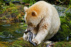 Kermode / Spirit bear (Ursus americanus Kermodei), white morph of the black bear, feeding on salmon, Princess Royal Island, British Columbia, Canada - Eric Baccega