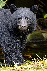 Portrait of Black bear (Ursus americanus), Princess Royal Island, British Columbia, Canada - Eric Baccega