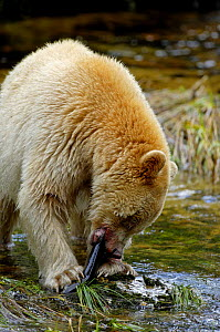 Kermode / Spirit bear (Ursus americanus Kermodei), white morph of black bear, feeding on salmon, Princess Royal Island, British Columbia, Canada - Eric Baccega