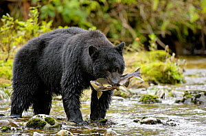Black bear (Ursus americanus) salmon fishing, Princess Royal Island, British Columbia, Canada - Eric Baccega