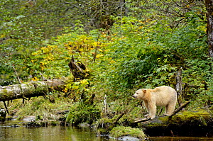 Kermode / Spirit bear (Ursus americanus Kermodei), white morph of black bear, standing on tree trunk, Princess Royal Island, British Columbia, Canada - Eric Baccega