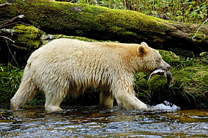 Kermode / Spirit bear (Ursus americanus Kermodei), white morph of black bear, salmon fishing, Princess Royal Island, British Columbia, Canada - Eric Baccega