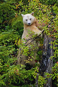 Kermode / Spirit bear (Ursus americanus Kermodei), white morph of black bear, Princess Royal Island, British Columbia, Canada - Eric Baccega