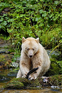 Kermode / Spirit bear (Ursus americanus Kermodei), white morph of black bear, eating salmon, Princess Royal Island, British Columbia, Canada - Eric Baccega