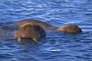 Walrus (Odobenus rosmarus) mother and pup in the water together, Igloolik, Foxe Basin, Nunavut, Arctic Canada - Mark Carwardine