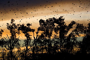 Straw-coloured fruit bats (Eidolon helvum) flying over daytime roost Kasanka National Park, Zambia, Africa  -  Mark Carwardine