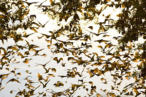 A cloud of Straw-coloured fruit bats (Eidolon helvum) flying around daytime roost with others still hanging from branches, Kasanka National Park, Zambia, Africa  -  Mark Carwardine
