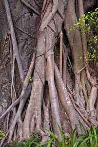 External roots of Chinese Banyan tree (Ficus microcarpa), Hong Kong, China - Adrian Davies