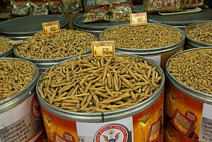 Ginseng (Panax sp.) for sale in Chinese herbal medicine shop, Hong Kong, China  -  Adrian Davies