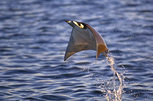 Smoothtail Ray / Mobula (Mobula thurstoni) flying out of the water, Baja California, Sea of Cortez (Gulf of California), Mexico - Mark Carwardine