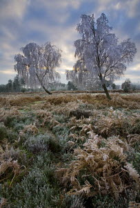 Hoar frost on birch trees (Bestula sp) and bracken (Pteridum aquilinum) during winter in New Forest, Hampshire, England - Adam Burton