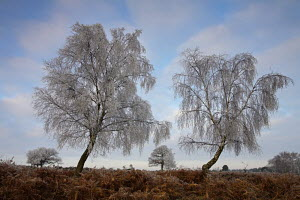 White hoar frost on birch trees (Bestula sp) and bracken (Pteridum aquilinum) during winter in New Forest, Hampshire, England - Adam Burton