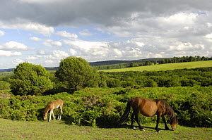 Pony and foal grazing on the Quantock Hills, Somerset, UK  -  Rob Cousins