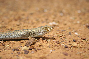 Pygmy blue-tongued skink (Tiliqua adelaidensis) on sand, Australia. It was thought for a time to be extinct, and is still threatened  -  Miles Barton