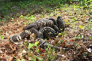 Mexican / Guatemalan beaded lizards (Heloderma horridum charlesbogerti) males wrestling. Captive Venomous species  -  Miles Barton