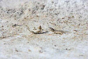 Lake Eyre Dragon (Ctenophorus maculosus) female rejecting male's advances by flipping herself onto her back to display orange underside. Alice Springs National Park, Northern Territory, Australia. Cap...  -  Miles Barton