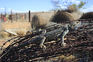 Inland Bearded Dragon (Pogona vitticeps) adult on barbed wire fence at farm in Hawker, Flinders Ranges, South Australia  -  Miles Barton