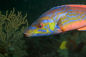 Male Cuckoo Wrasse (Labrus mixtus), Sark, Channel Islands, UK  -  Sue Daly