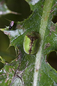 Tortoise beetle (Cassida vibex) on leaf, Sussex, UK  -  Simon Colmer