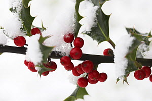 European Holly with leaves and berries (Ilex aquifolium) covered in snow, UK  -  Simon Colmer