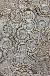 Fossil Stromatolites from the Cretaceous period, formations caused by bacteria and algae, Morocco  -  John Cancalosi