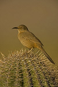 Curve-billed Thrasher (Toxostoma curvirostre) on cactus, Arizona, USA  -  John Cancalosi