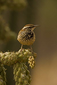 Cactus Wren (Campylorhnchus brunneicapillus) perched on cholla cactus (Opuntia sp.), Sonoran Desert, Arizona, USA  -  John Cancalosi