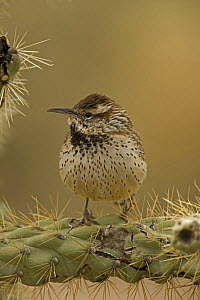 Cactus Wren (Campylorhnchus brunneicapillus) perched on Cholla cactus (Opuntia sp.), Arizona, USA  -  John Cancalosi