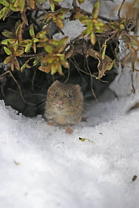 Bank vole (Clethrionomys glareolus) coming out of burrow under snow, Carmarthenshire, Wales, UK February  -  Dave Bevan